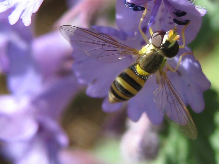 Syrphid fly on veronica
