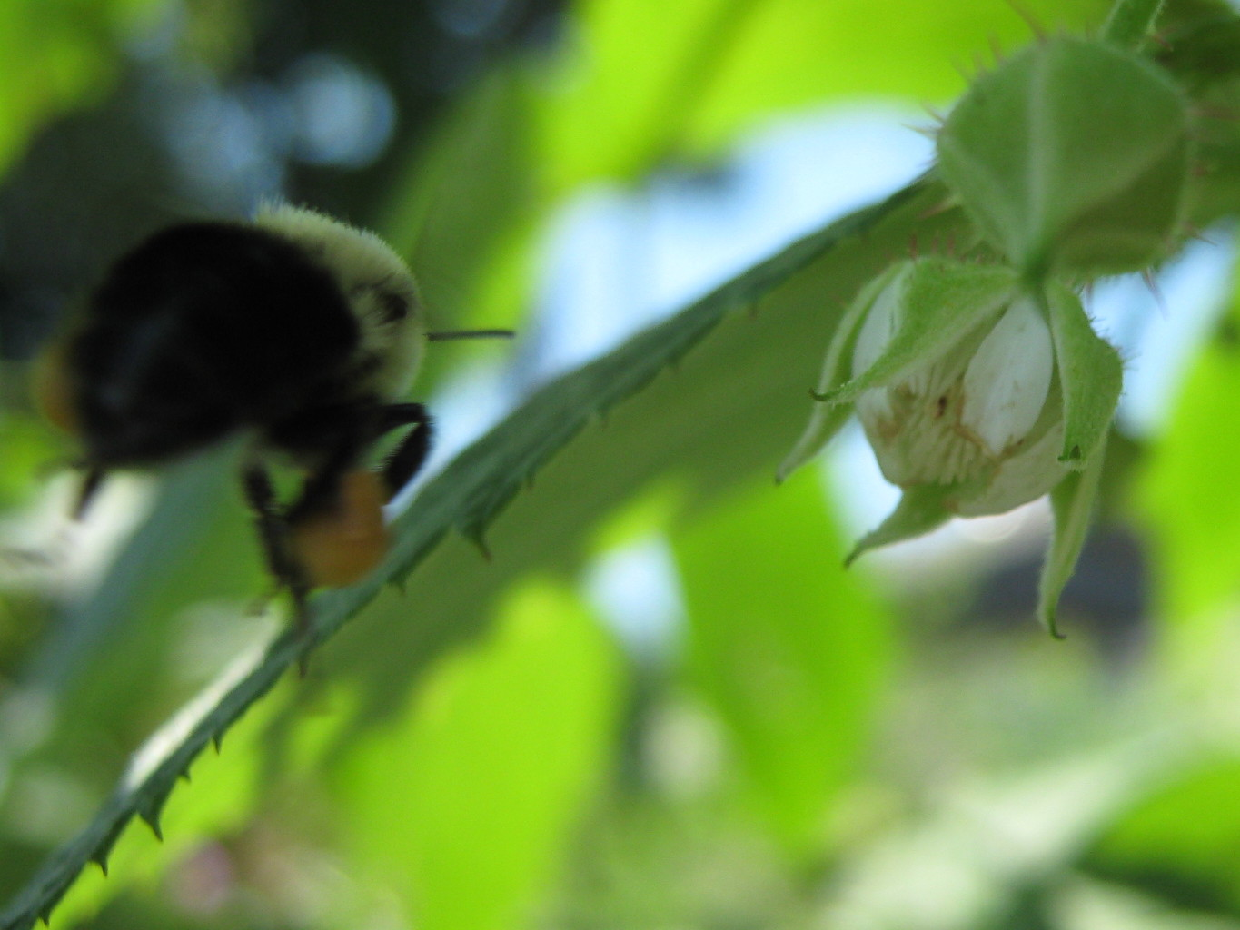 Bumblebee on a mission to raspberries
