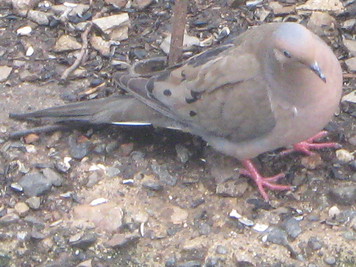 Mourning dove playing at cat bait