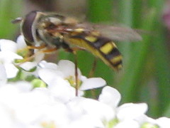 The syrphid has landed.