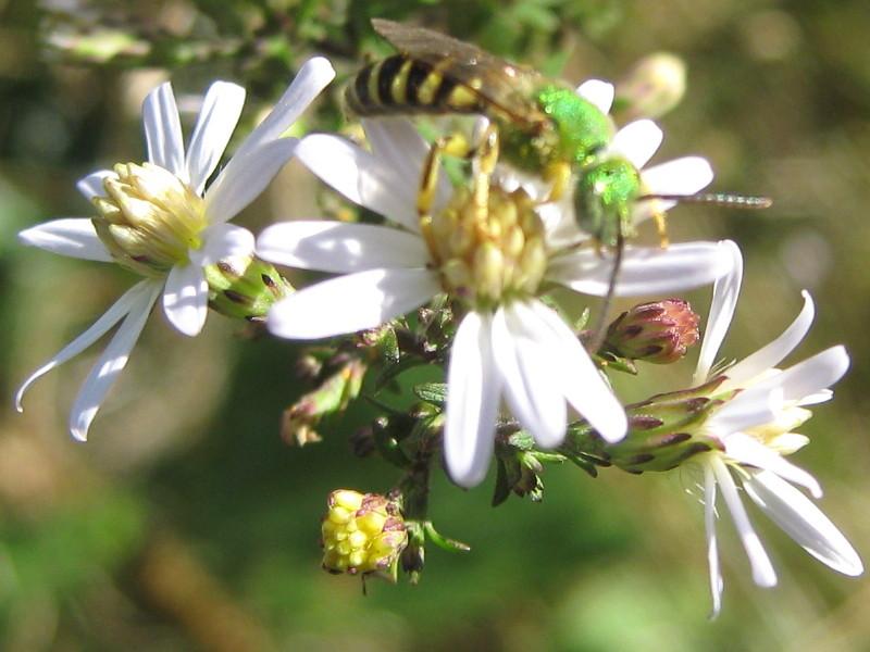 Shiny green sweat bee