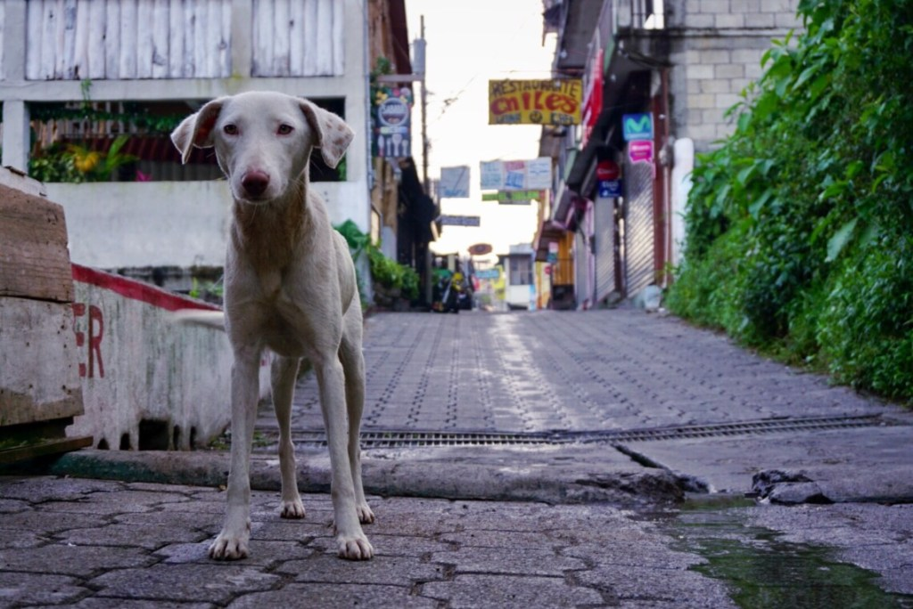 A very skinny white dog stands in a narrow Guatemalan street. There are hand-made signs written in Spanish handing on both sides of the street