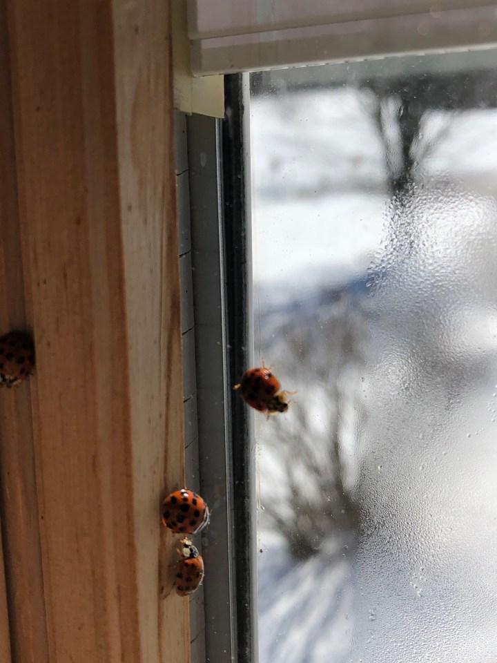 Ladybug Luck Revisit