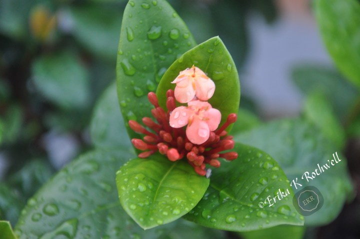 Photograph with raindrops on budding flowering plant. photo by erika k rothwell