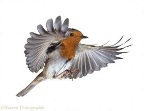European Robin (Erithacus rubecula) in flight.