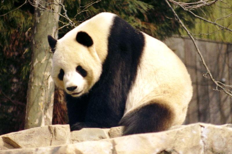 A Giant Panda in the Washington Zoo, 2004
