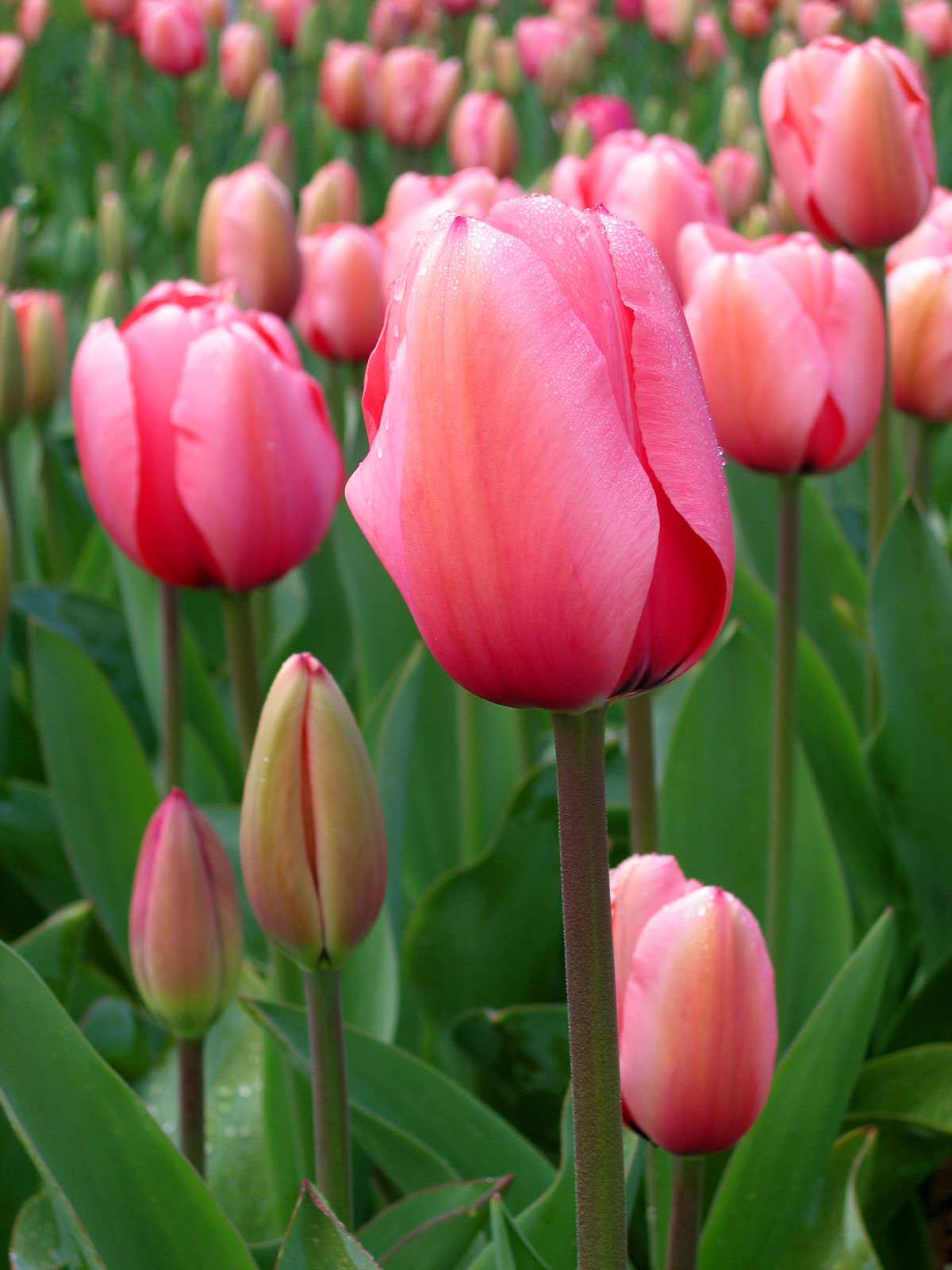 Tulips (Floriade canberra); photo by John O'Neill
