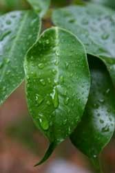 Raindrops on ficus leaves