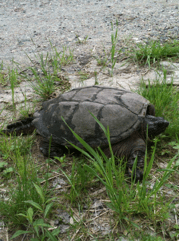 Snapping turtle on her way to nest.