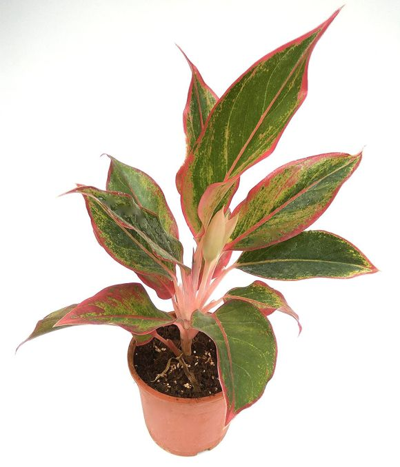 Aglaonema. Plants for Your Office Desk