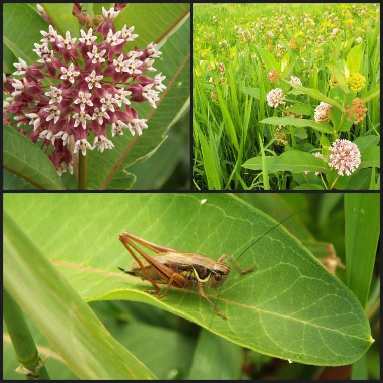 grasshoppermilkweed