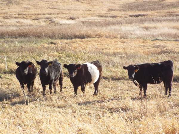 4cattle
