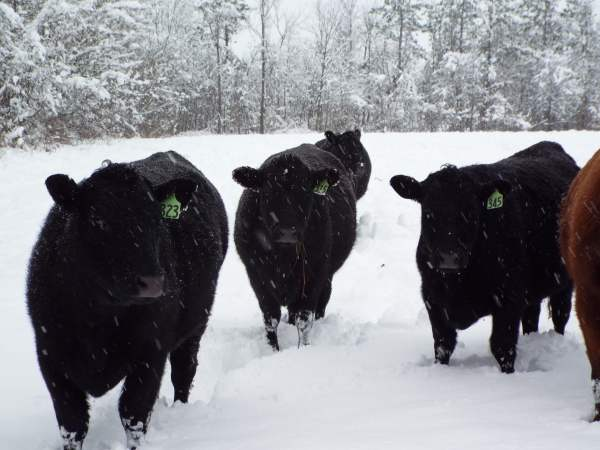 newest cattle