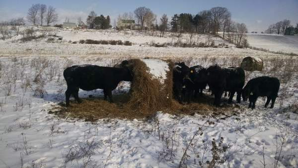 The cattle eat the bale starting at the center.  The outside few inches is usually frozen and a little weathered, so they ignore the crust and go for the better quality hay in the core.