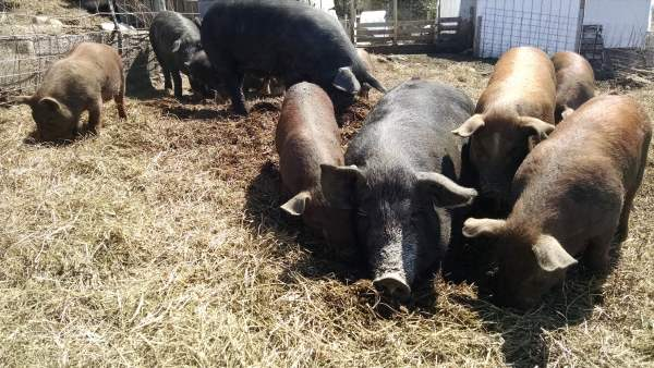 The pigs are still eating hay, but the time for them to get into the back pastures and woods is getting nearer.  Hang in there, hogs.