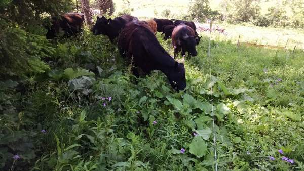 The cattle are cleaning up the overgrowth at the edges of the lawn around the gardens and the orchard.  It saves me hours, and they enjoy it the whole time.  Young burdock leaves are especially palatable,