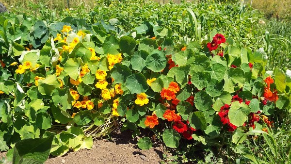 Nasturtiums are not only lovely, they are edible and make good companions for green beans.