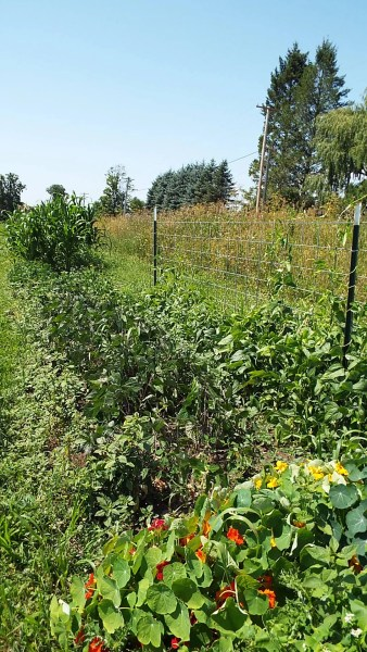 Three varieties of bush beans and a climbing bean sit between the corn and nasturtiums.