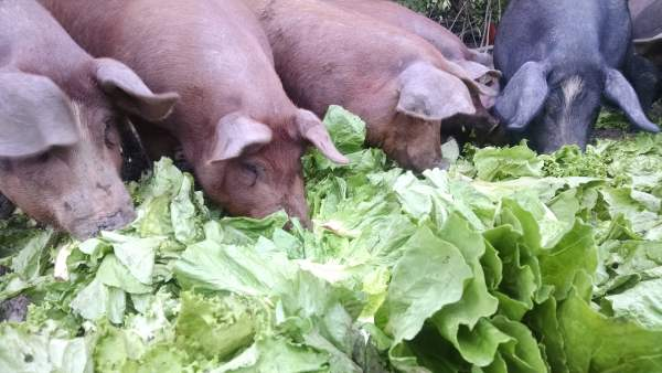 The pigs welcome the lettuce anyway.  Romaine and green leaf were on the menu.  Most of the heads were still crisp with just a little blackening on the edges.