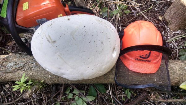 This is the monster puffball I found last year.  Last year's mushroom came in a few weeks earlier, but perhaps that is due to the extended run of warm weather we've experienced recently.