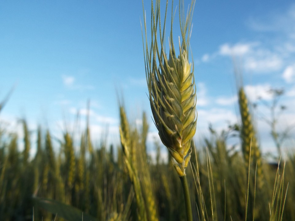 DSCF3530wheat