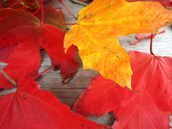 maple-leaves-red-yellow
