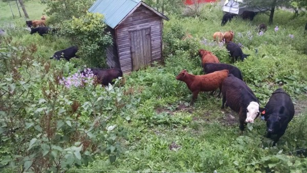 Cows in the Yard 2