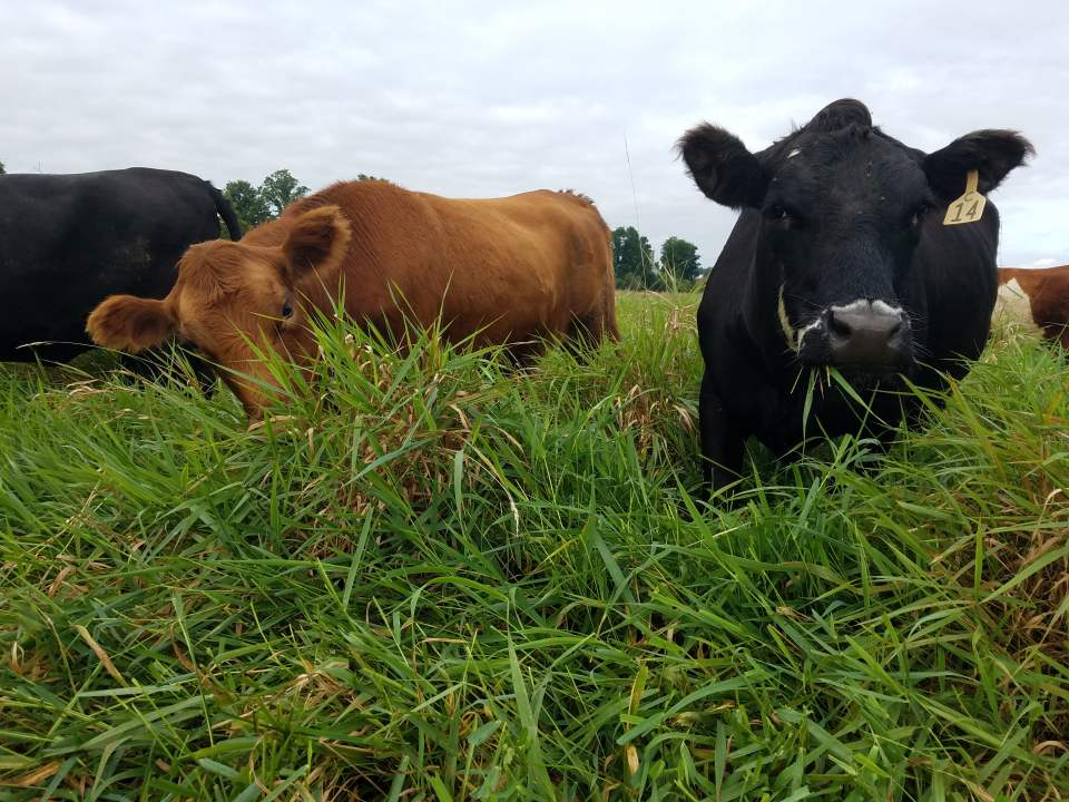 Grass Fed Beef herd grazing at Wrong Direction Farm