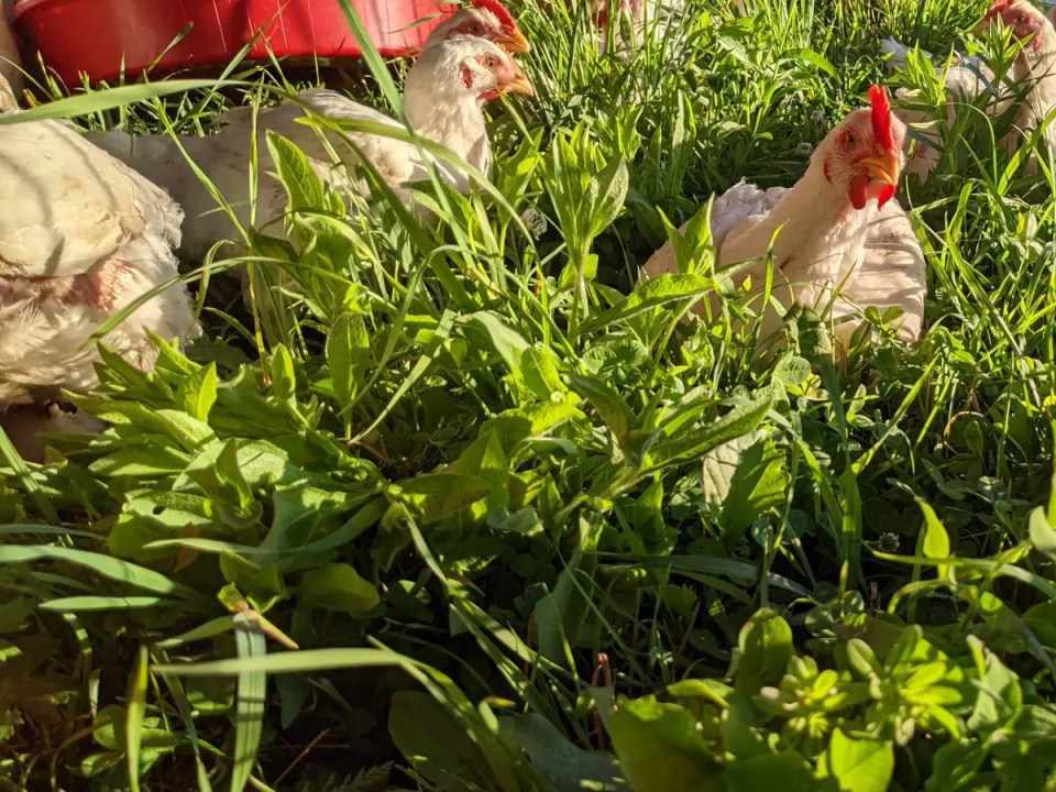 Pasture raised chickens at Wrong Direction Farm, 100% certified organic.