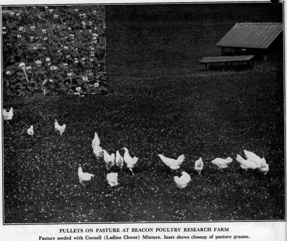 Pasture raised chickens on a clover field in New York. Home delivery of pasture raised chicken in New York City may be a recent adaptation, but Wrong Direction Farm's pasture raised chicken is part of a much older local New York tradition.