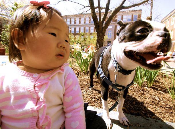 boston brookline portrait boston terrier 1