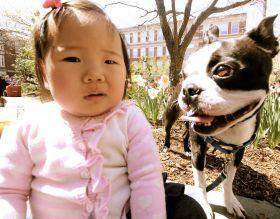 boston brookline portrait boston terrier 2