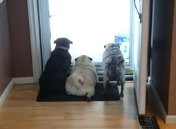 Photo of Stephanie's three pugs, from behind, lined up next to each other and looking out a screen door.