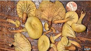 Neonothopanus gardneri