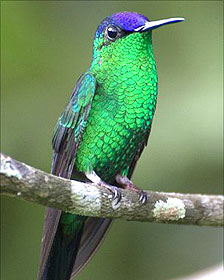 Thalurania nigricapilla, ave de Colombia . Foto: Darío Sánchez