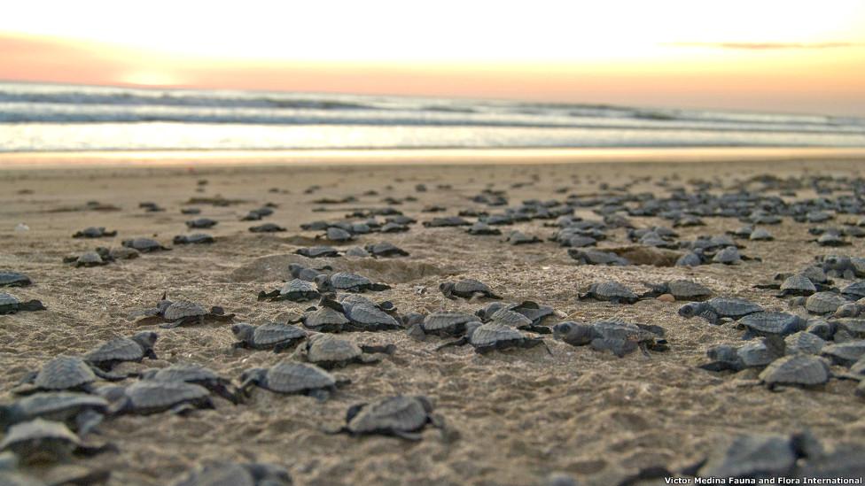 Tortuguillos al mar en Chacocente