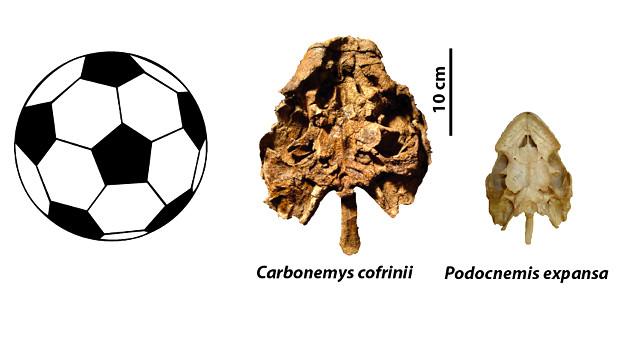 Comparación del tamaño del cráneo de la tortuga gigante hallada en Colombia con otro cráneo de una tortuga actual de  la t