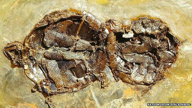 Tortugas fosilizadas durante el acto sexual Foto Naturmuseu Senckenberg