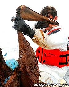 Rescate de pelícanos tras el derrame de crudo en el Golfo de México en 2010