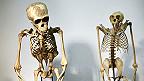 Esqueleto de un chimpancé y un orangután.
