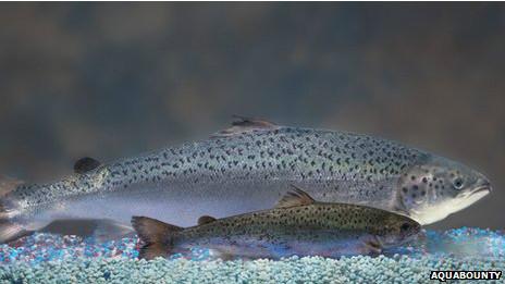 Comparación de un salmón transgénico frente a uno natural de la misma edad.