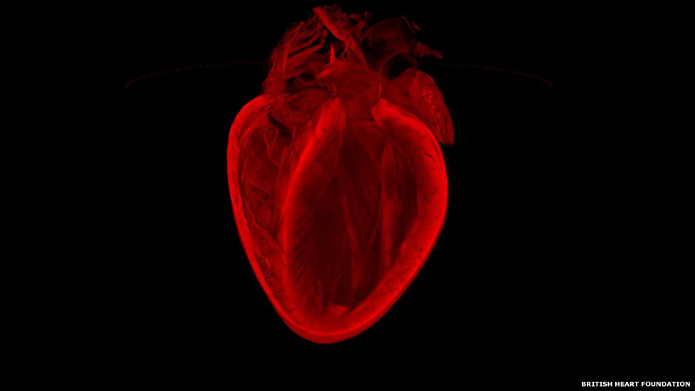 Veja detalhes do coração humano