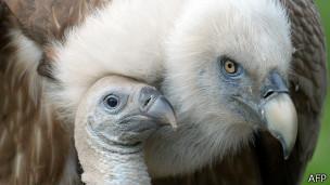 Buitre con polluelo