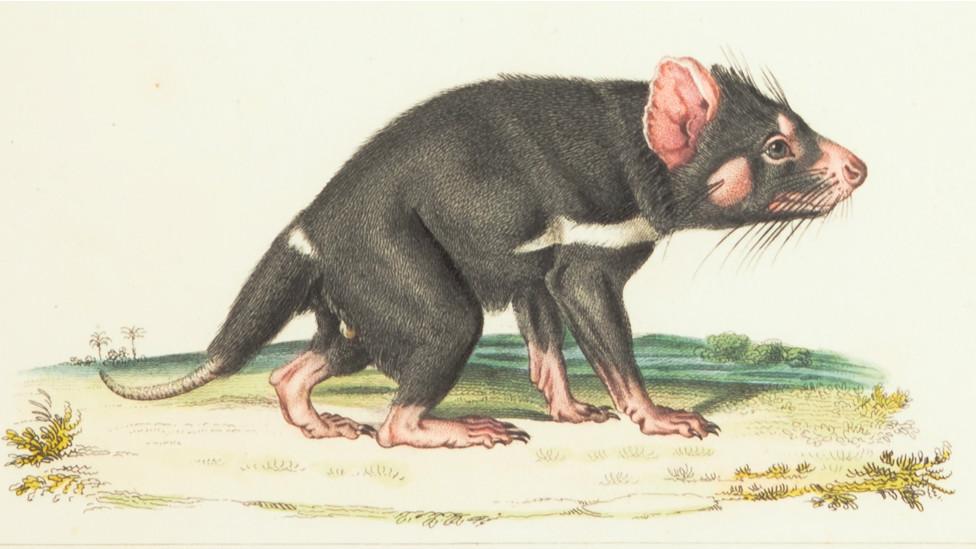 Dasyure sp, (Biodiversity Heritage Library)