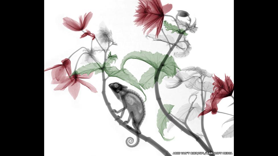 Radiografía a color de un camaleón sobre una planta de Begonia