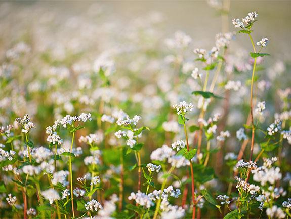 What about buckwheat  Spring 2014  Washington State Magazine