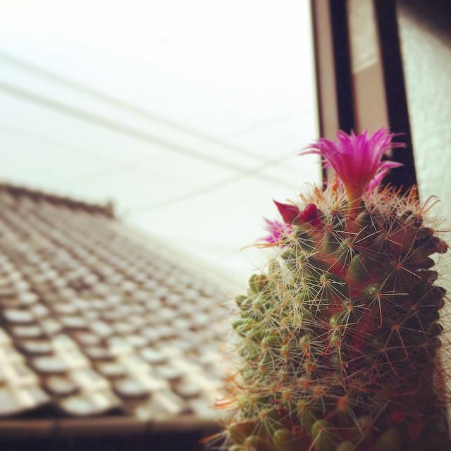 今日は雨ですねえ。太陽が恋しい頭がサンバなサボ子さん。#green #cactus #flower #rain #rainy #cloud #spring