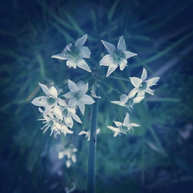 小さな白い星。#flower #white
