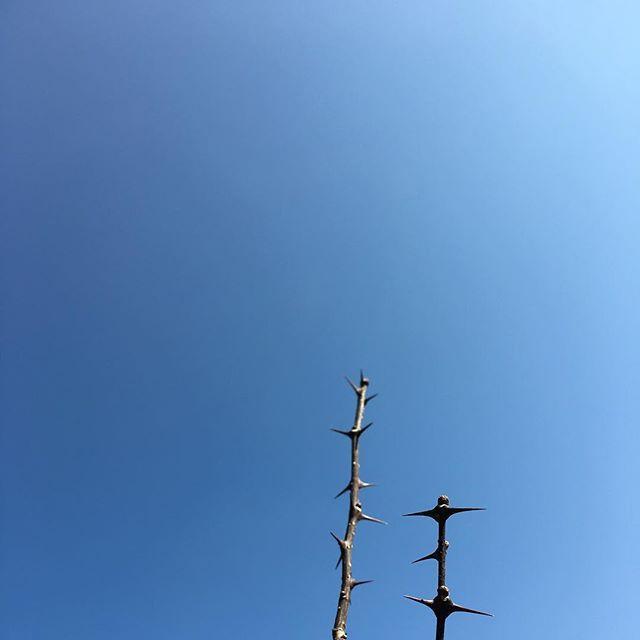 「今日はいい天気ですねぇ」「そうですねぇ」#イマソラ #mysky #sky #blue #fine #branch #prickle #trees #japanese #pepper