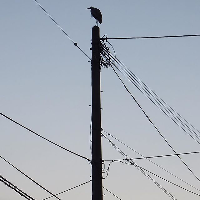 孤高の鳥 #イマソラ #mysky #sky #sunset #bird #fine #electric #pole #line #shadow